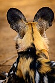 African wild dog (Lycaon pictus). It´s is also called the African hunting dog, Cape hunting dog, painted dog, painted wolf, painted hunting dog, spotted dog, or ornate wolf. Madikwe Game Reserve. North West Province. South Africa.