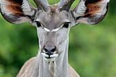 Greater kudu (Tragelaphus strepsiceros. Western Shores. iSimangaliso Wetland Park. KwaZulu Natal. South Africa.