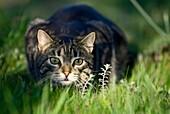 Domestic cat stalking in grass