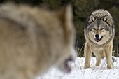 Alpha male Gray Wolf (Canis lupus) Grey Wolf confrontation with beta male wolf in fresh winter snow, Montana, USA.