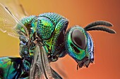 Some kind of cucko wasp, there arer over 3000 species. Parasitoid or cleptoparasitic wasps, this one is highly sculptured, with brilliantly colored metallic-like body.