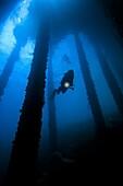 Diver Under Pier, Ambon Bay,Air Manis.