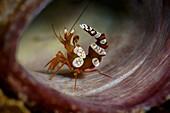 Anemone Shrimp aka sexy shrimp, thor ammboinensis, Lembeh Strait, North Sulawesi, Indonesia.
