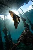 Juvenile longfin batfish or spadefish, Platax teira, under Arborek Pier, Raja Ampat, West Papua, Indonesia, Pacific Ocean.