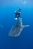 A snorkeler dives down with a whaleshark, Rhincodon typus, under a fishing platform, these sharks are friends with the fishermen who hand feed them at Cendrawasih Bay, West Papua, Indonesia, Pacific Ocean.