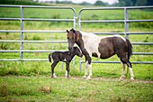 Mother horse with her foal near Hurlock, Maryland, USA, standing near a tall fence.