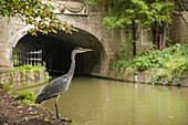 Grey heron hunting at Kennet and Avon canal in Bath, Somerset, England. Moody autumn afternoon.
