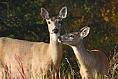 A mother and fawn whitetail deer showing affection toward each other in a forested area in Alberta. Canada.