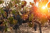 vineyards in la rioja. span.