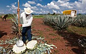 The jima is the harvest of the ageve. it is a manual craftsmanship handled by the jimador, who shaves off the agave stalks to arrive to the core of the plant with the aid of special work tools. A jimador is capable of harvesting up to 350 piñas in seven h