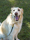 This golden retriever mix is full of the joy of life.