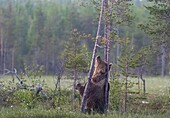 Brown bear, Ursus arctos, Standing on his back legs, scratching his back agains a pine tree, Kuhmo, Finland.