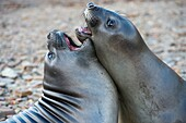 Southern elephant seal pubs (M. leonina) play fighting near the Norwegian whaling station in Grytviken on South Georgia Island, Sub-Antarctica.