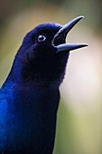'A male boat-tailed grackle (Quiscalus major) vocalizes to send signals to other birds. The iridescent feathers appear blue under overcast conditions; Florida, USA.'