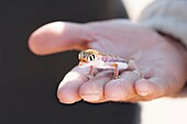 Small multi-colored Sand Gecko (Palmatogecko rangei) sits in the hand of a Caucasian man in the Namib Desert, Namibia, Africa.