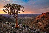 Landscape photo of a quiver tree on a cliff edge overlooking a deep canyon in sunrise light. Fish River Canyon, Namibia.