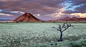 Storm Cloud hang over the mountains and a dead tree in a green desert landscape after plentiful rains. Namib Rand, Namibia.