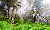 Landscape photo of indigenous forest in misty conditions. Debengeni Falls, Magoebaskloof, Limpopo, South Africa.