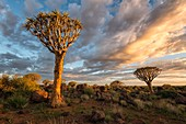 Landscape photo of quiver trees below a colourful sunrise sky. Quiver Tree Forest, Keetmanshoop, Namibia.