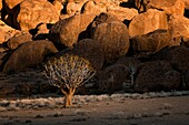 Landscape photo of a quiver tree in the aptly named Kokerboomkloof, which is Afrikaans for valley of quiver trees. Richtersveld National Park, South Africa.