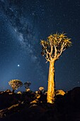 Landscape photo of quiver trees below a night sky. Quiver Tree Forest, Keetmanshoop, Namibia.