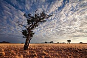 Wide angle view of an old camelthorn tree in a dry grass field. Namib rand, Namibia.