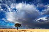 Landscape photo of a lone camelthorn tree against a dramatic stormy sky. Namib Rand, Namibia.