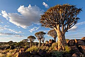 Landscape photo of a quiver tree below a cloudy summer sky. Quiver Tree Forest, Keetmanshoop, Namibia.