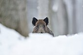 Close-up of a wild boar sus scrofa in winter. Bavarian forest, Bavaria, Germany