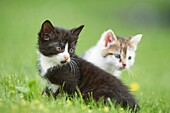 Close-up of two six weeks old domestic cat (Felis silvestris catus) kitten on a meadow in early summer.