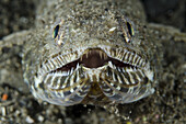 Lizardfish (Saurida sp.) at Mucky Mosque dive site off Alor Island in eastern Indonesia.