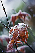 Acer palmatum with frost.