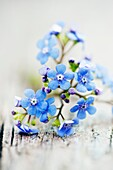 Brunnera macrophylla close up of flower lying on rustic wooden surface.