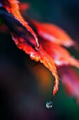 Acer Palmatum variety Bloodgood Autumn/fall colours with raindrop on leaf.