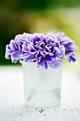 Dianthus Carnation flowers close up in glass vase