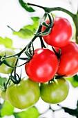 Tomato close up variety Alicante