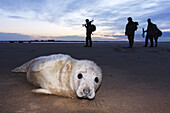 Photographer and Seal grey (Halichoerus grypus) Donna Nook National Nature Reserve, Lincolnshile, England, U.K., Europe.