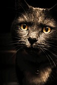Face of a curious cat watching from the shadows of darkness. Pets and animal portraits.