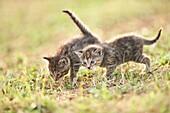 Five week old domestic cat (Felis silvestris catus) kitten on a meadow in late summer.