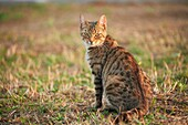 Close-up of a domestic cat (Felis catus or Felis silvestris catus) on a meadow in late summer.