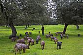 herd of iberian pigs. Andalusia, Spain