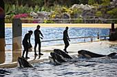 Trainers and Orcas during the show, Loro Parque, Puerto de la Cruz, Tenerife, Canary Islands, Spain, Europe.
