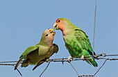 Rosy-faced Lovebird (Agapornis roseicollis) - Juvenile, on the left, claiming food from the adult. At a wire fence of a farm. South-east Namibia.