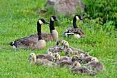 Canada goose (Branta Canadensis) Adults and goslings, Minnesota Wildlife Connection, Sandstone, Minnesota, USA.