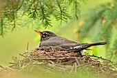 American robin (Turdus migratorius) Adult incubating eggs, Greater Sudbury, Ontario, Canada.
