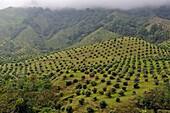 avocado plantation, Cocora Valley, around Solento, department of Quindio, Colombia, South America.