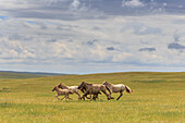 Herd of dappled and pale horses and foals gallop and canter, lush grassland with flowers in summer, Uvurkhangai, Central Mongolia, Mongolia, Central Asia, Asia