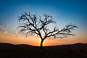 Acacia tree near Dune 45 in the Namib Desert at sunset, Sossusvlei, Namin-Naukluft Park, Namibia, Africa