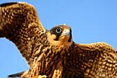Eurasian Hobby (Falco subbuteo) in  Villafafila Natural Park Zamora