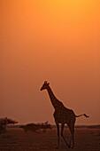 A giraffe emerges from the lush terrain of the Okavango Delta region in Northern Botswana at sunrise Photo by Ami Vitale